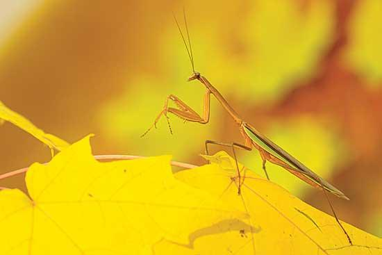 I really find that some of the most amazing animals on the face of the earth are the insects. I recently spent some time capturing a few incredible images of just one of these amazing animals, the Praying Mantis, or often just called Mantid.The...