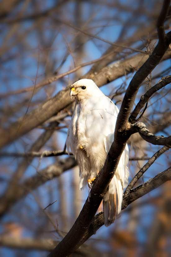 Many years ago, I saw what looked like a completely white red-tailed hawk in the area around the nature center where I have worked for the past 30 years. Occasionally, I would get a call from someone who thought they saw a white gyrfalcon, which...